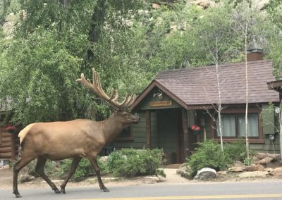 Image of a full view of a big bull elk posing in from of Exploration Cabin in Estes Park CO along E Riverside drive across from the Big Thompson River.